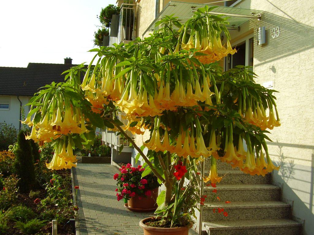 """""""Jahrelanger Stillstand oder wenig Blüten, jetzt plötzlich mit voller Wucht massenweise Blüten"""", erzählt Rolf Arnold aus Schlierstadt über seinen Trompetenbaum."""