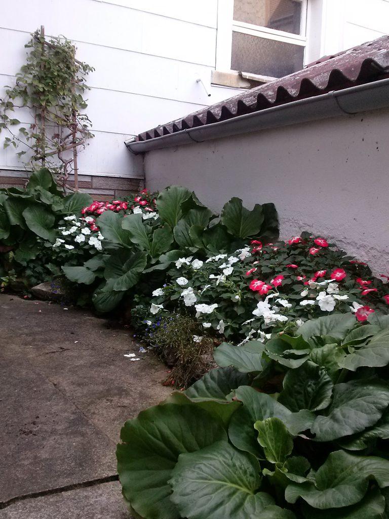 Indisches Blumenrohr blüht im Eingangsbereich von Simone Stahl.