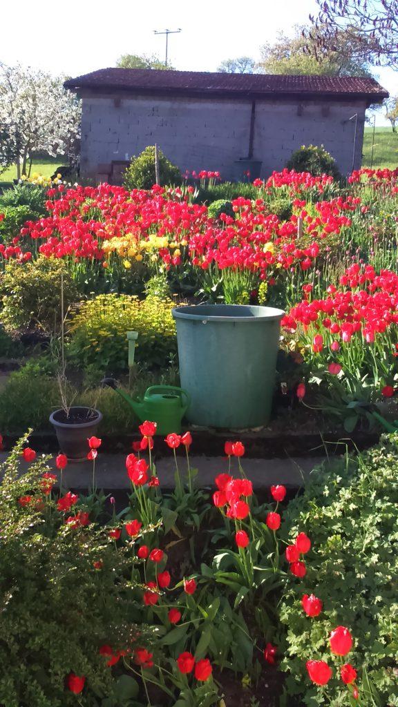Dieses rote Tulpenmeer schickte uns Alma Scherer aus Kützbrunn zu.